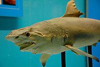 天津自然博物馆内景-鲨鱼标本照片