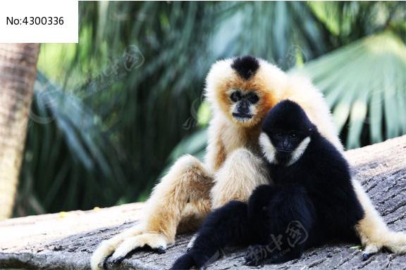 可爱猴子亲亲图片