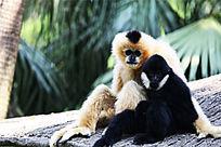 拥抱的猴子