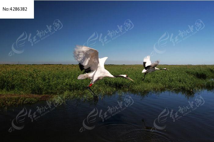 展翅飞翔的丹顶鹤图片