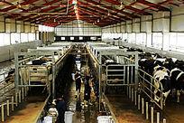 澳亚国际奶业示范牧场奶牛
