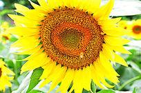 百万葵园的向日葵