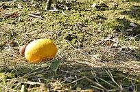 掉地上的脐橙