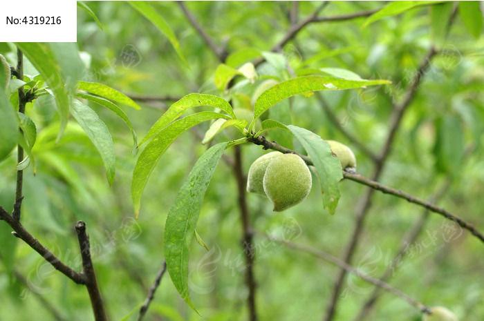 原创摄影图 动物植物 农作物 果实