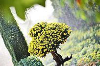 黄色小菊花盆景