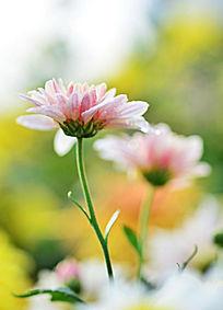 两朵粉色菊花
