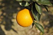 树上的橙子
