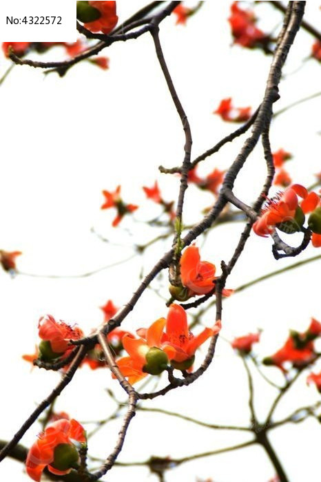 海南南方木棉树木棉花图片