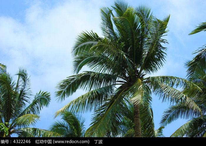 蓝天白云下的椰树图片