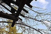 深秋的银杏枝头