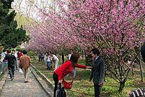 武汉大学樱花