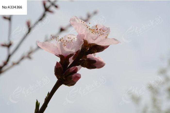 五花瓣杯垫 桃花花瓣简笔画