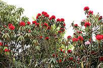 红色的野生杜鹃花