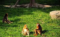 三只坐着的猕猴