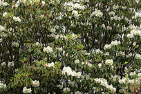 野生白色杜鹃