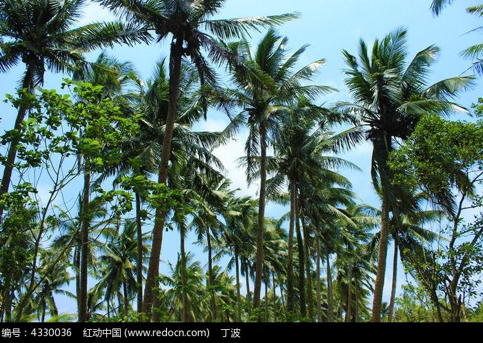 原创摄影图 动物植物 树木枝叶 椰子树林