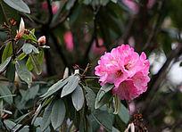 原生杜鹃鲜嫩的花朵