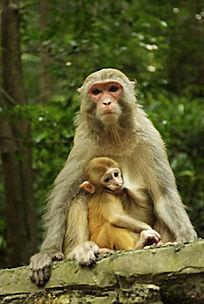 正在哺乳的猴子