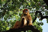 坐在树上的猕猴