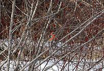 彩色的野鸟