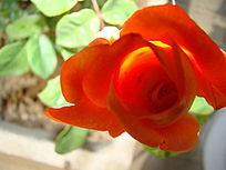 橙黄色的月季花苞