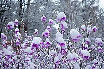 杜鹃花春雪