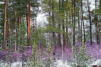 杜鹃花松林雪景