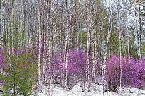 杜鹃桦林映春雪