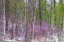 杜鹃树林春雪风光
