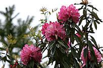 粉红野生杜鹃盛开