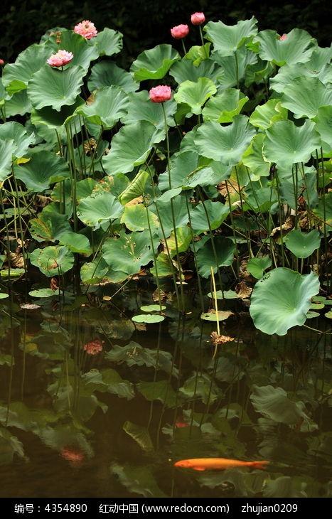原创摄影图 动物植物 花卉花草 锦鲤荷花塘
