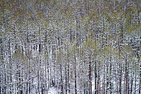 落雪后的林海雪景