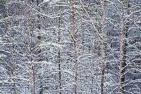 落雪后的小白桦林