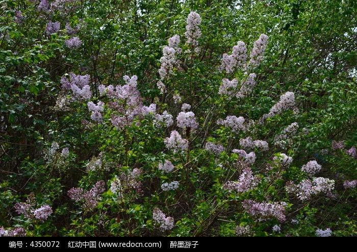 茂盛的丁香树长期喝蒲公英根图片