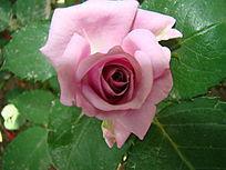 青莲紫色的玫瑰