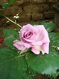 青莲紫色玫瑰