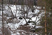 山坡森林中的野猪