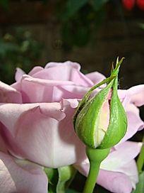 盛开的玫瑰和含苞欲放的玫瑰苞