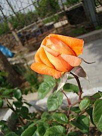 特写橙黄色的月季花