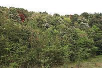 野生杜鹃花丛