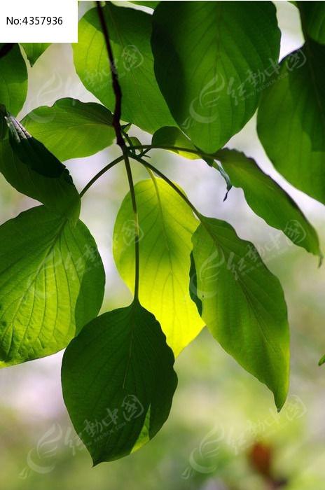 原创摄影图 动物植物 树木枝叶 叶子微距特写  请您分享: 红动网提供