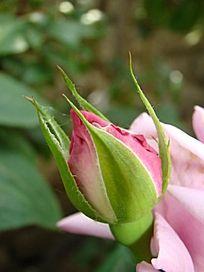 紫色玫瑰的花骨朵