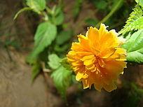 不同角度的淡黄色花朵