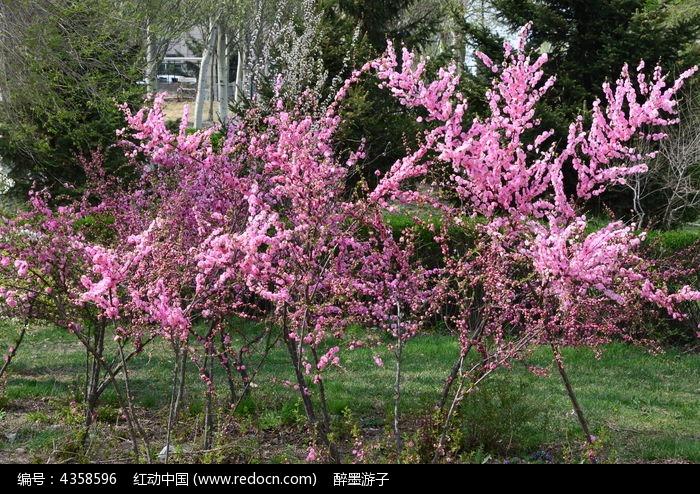 美丽的桃树林
