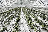 农作物种植的大暖棚内景