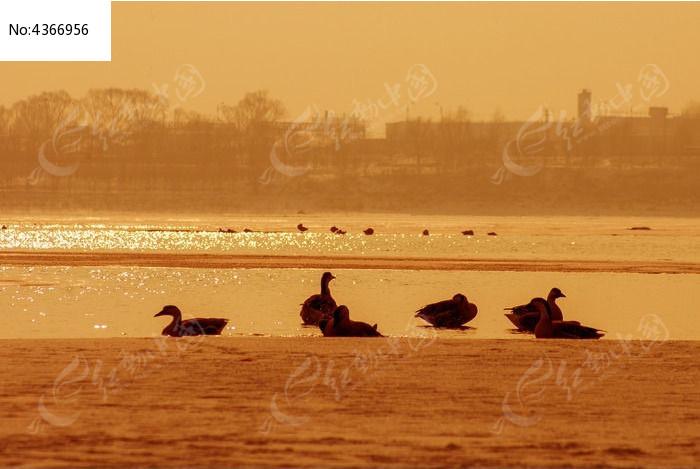 夕阳下的鸿雁图片,高清大图_空中动物素材