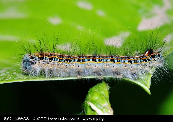 原创摄影图 动物植物 昆虫世界 叶子上的毛毛虫  请您分享: 红动网