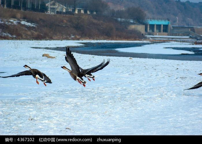 展翅飞翔的鸟图片