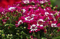 粉白相间的花