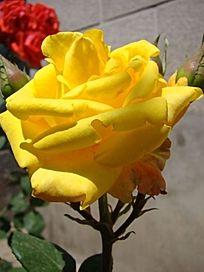 金黄色的月季花